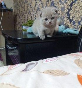 Котёнок шотландской породы