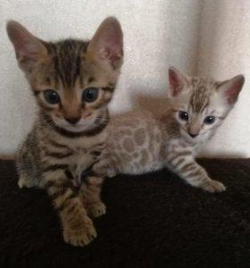 Домашние леопарды бенгальские котята