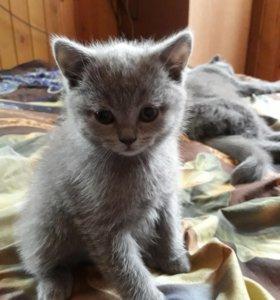 🐈💣Шотланские прямоухие котята 🐈
