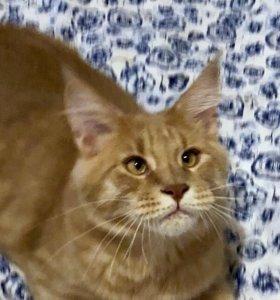 Кремовый мейн-кун котенок