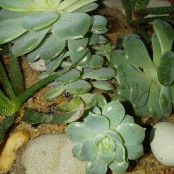 Купить цветок белопероне ростов на дону
