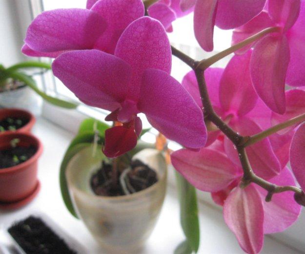Орхидеи + кашпо (стекло). Фото 2. Омск.