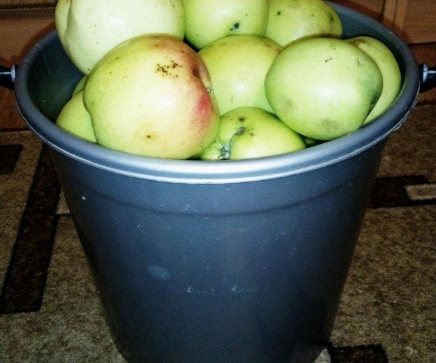 Яблоки сочные - 100 руб ведро. Фото 1.