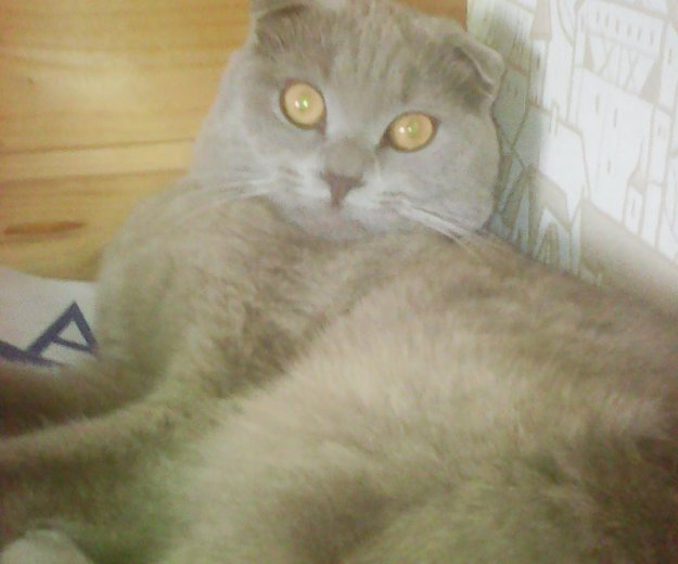 Кот на вязку. Фото 1. Омск.