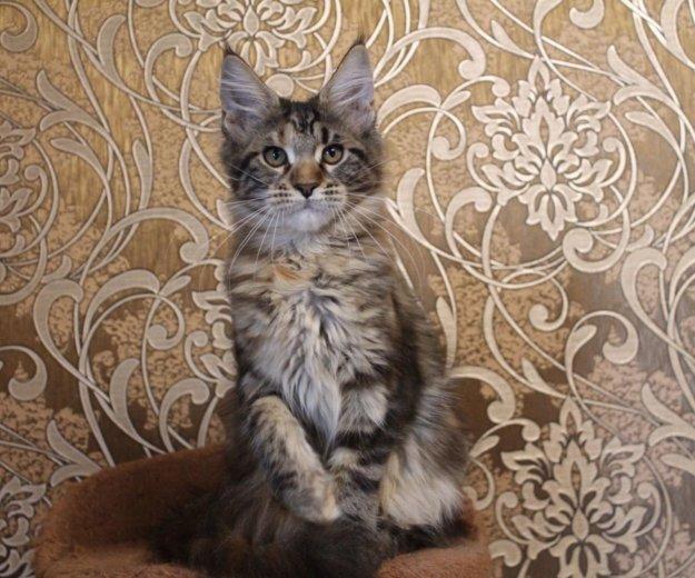 Домашняя рысь-кошечка породы мейн кун. Фото 1. Сочи.