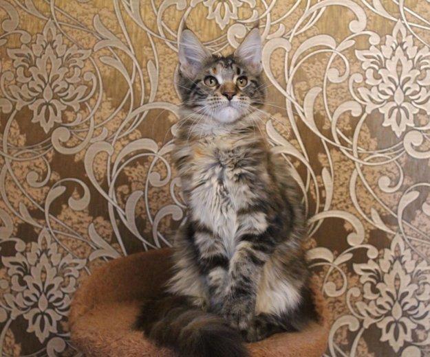 Домашняя рысь-кошечка породы мейн кун. Фото 2. Сочи.