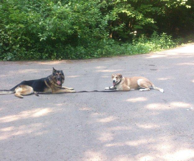 Дрессировка собак с передержкой. Фото 4.