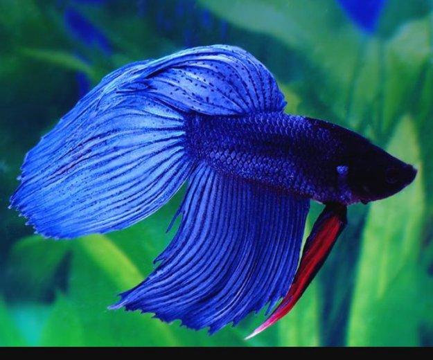 Петушок рыбка самец. Фото 1. Казань.