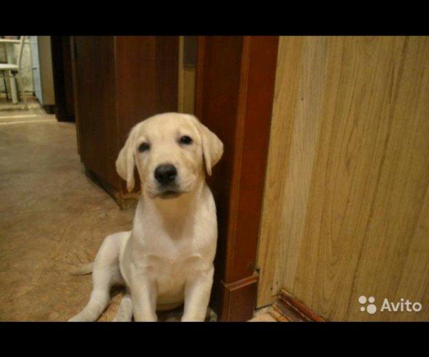 Продажа щенков лабрадор. Фото 2. Тверь.