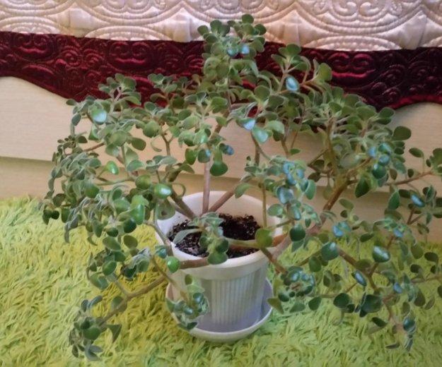 Аихризон (дерево счастья). Фото 2. Астрахань.