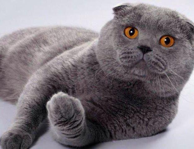 Вязка кота. Фото 1. Владимир.