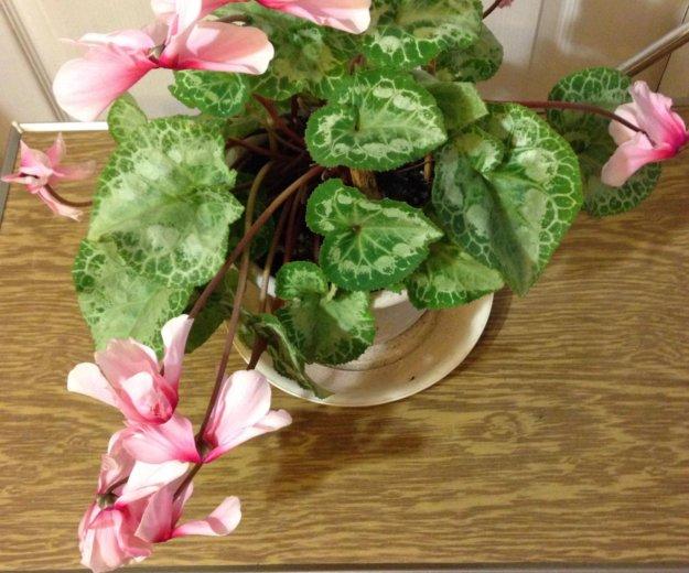 "Комнатное растение ""цикламен"". Фото 1. Искитим."