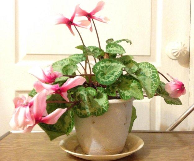 "Комнатное растение ""цикламен"". Фото 2. Искитим."