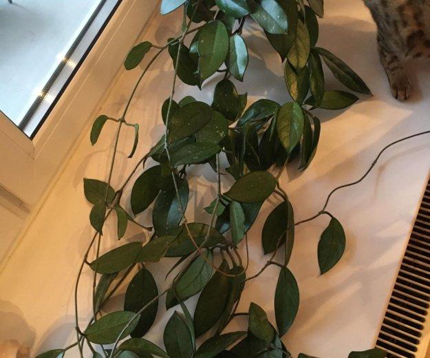 Хойя взрослое растение. Фото 1. Санкт-Петербург.