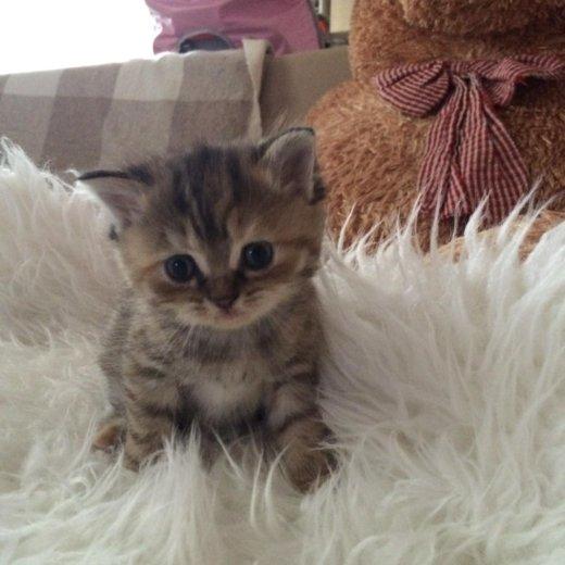 Котята от персидской кошечки. Фото 3.
