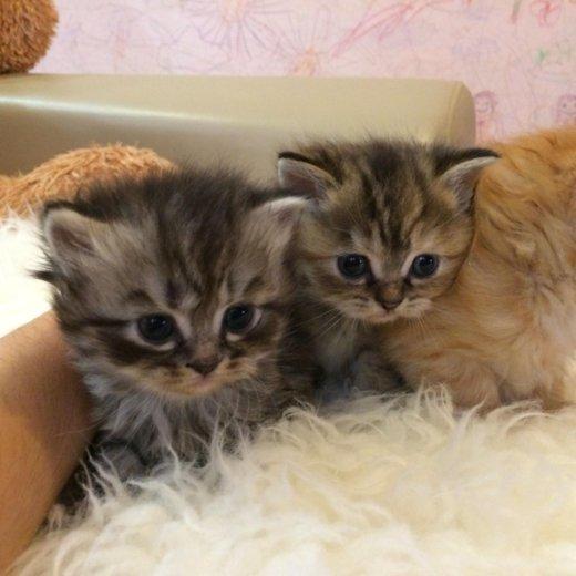 Котята от персидской кошечки. Фото 1.