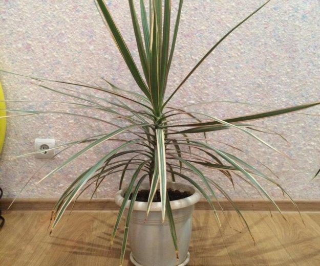 Пальма драцена. Фото 1. Кемерово.
