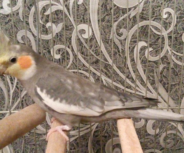 Попугай карелла с большой клеткой. Фото 3. Мичуринск.