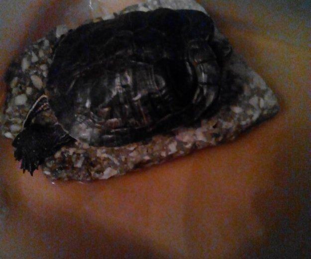 Черепаха. Фото 1. Копейск.