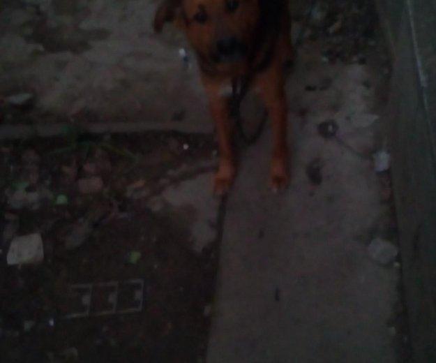 Собака кобель. Фото 1. Северская.