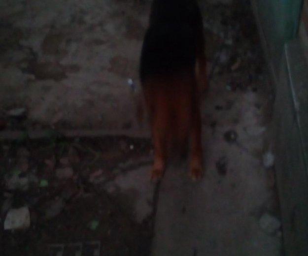 Собака кобель. Фото 2. Северская.
