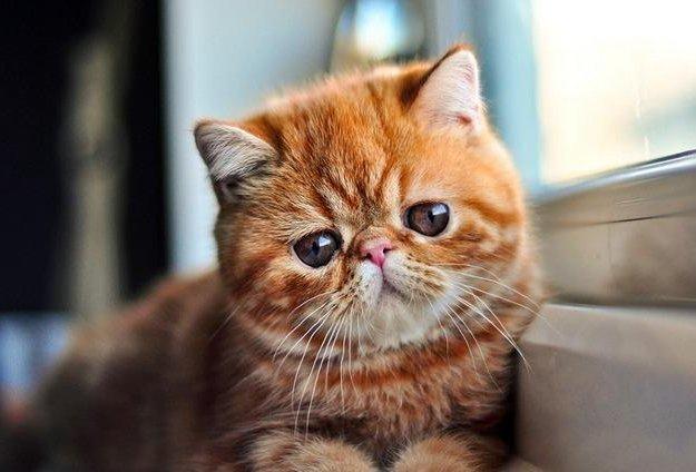Котенок экзот. Фото 1. Сургут.