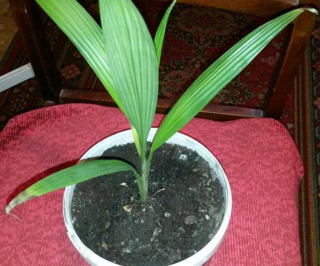Цветы (пальма ). Фото 1. Саратов.