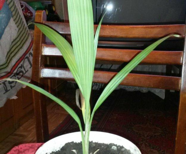 Цветы (пальма ). Фото 2. Саратов.