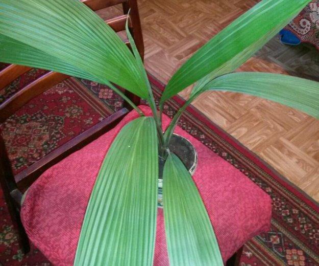 Цветы (пальма ). Фото 3. Саратов.