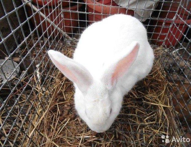 Кролики белый великан. Фото 1. Москва.