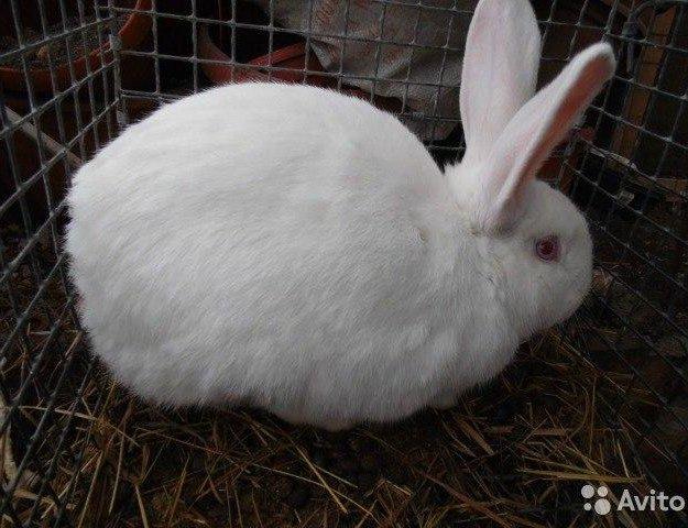 Кролики белый великан. Фото 2. Москва.