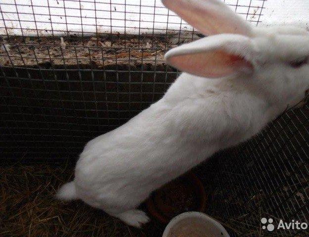 Кролики белый великан. Фото 3. Москва.