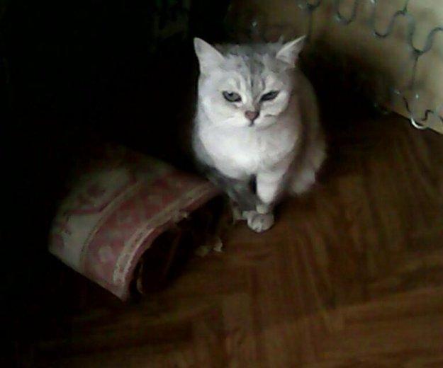 Срочно!!! отдам кошку британскую. Фото 2.