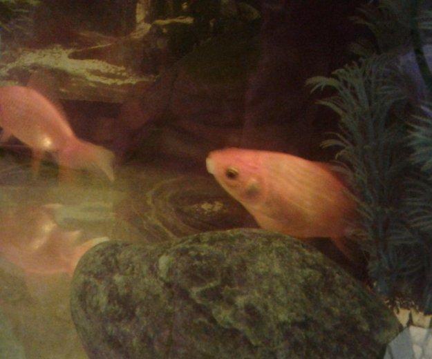 Золотая рыбка. Фото 1.