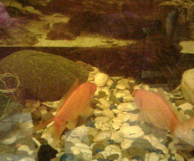 Золотая рыбка. Фото 2.