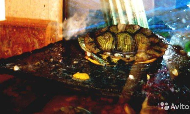 Красноухая черепаха + аквариум. Фото 1. Шебекино.