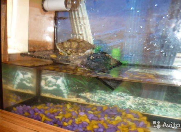 Красноухая черепаха + аквариум. Фото 2. Шебекино.