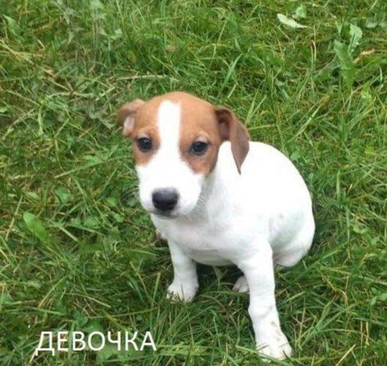 Щенки джек рассел терьера 3 мес. Фото 3. Москва.