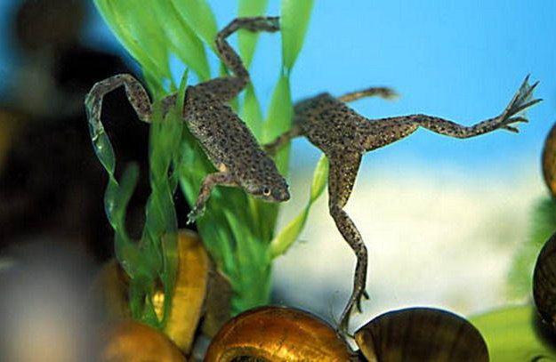 Лягушка карликовая. Фото 1. Новосибирск.