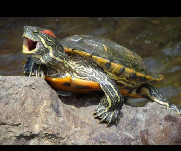 2 красноухие черепахи. Фото 1. Нижний Новгород.
