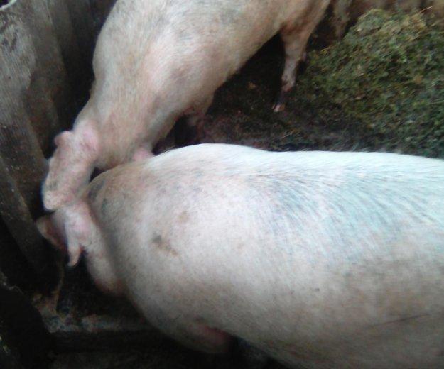 Мясо продаю срочно кобанчики кастрированы. Фото 1.