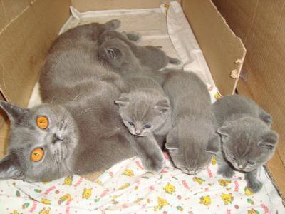 Котята британцы (голубой). Фото 1.