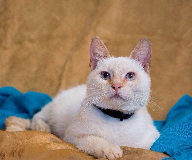 Тайский кот ищет семью!. Фото 1. Москва.