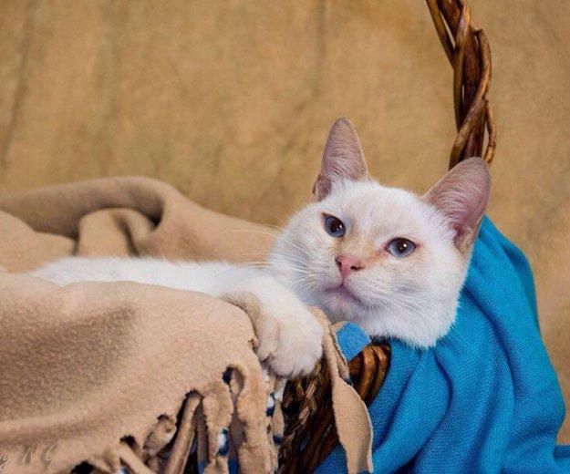 Тайский кот ищет семью!. Фото 2. Москва.