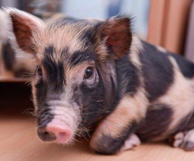 Мини-пиги, карликовые свинки декоративные. Фото 1. Новосибирск.
