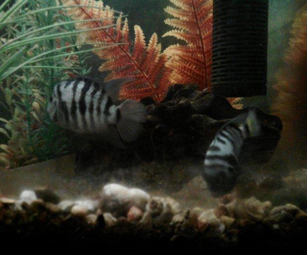 Рыбы аквариум цихлиды полосатые мальки. Фото 1. Октябрьский.