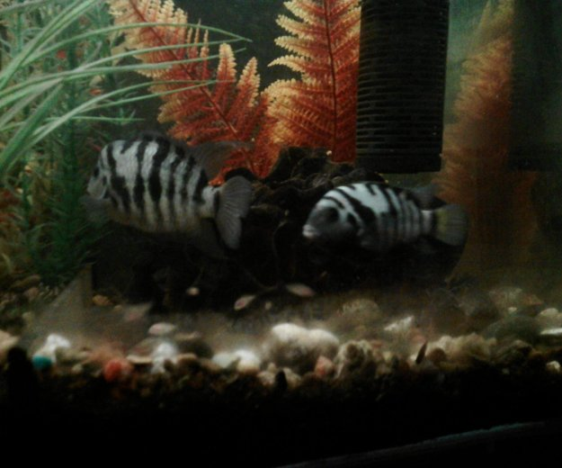 Рыбы аквариум цихлиды полосатые мальки. Фото 2. Октябрьский.