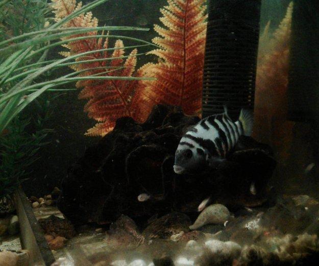 Рыбы аквариум цихлиды полосатые мальки. Фото 3. Октябрьский.