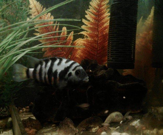 Рыбы аквариум цихлиды полосатые мальки. Фото 4. Октябрьский.