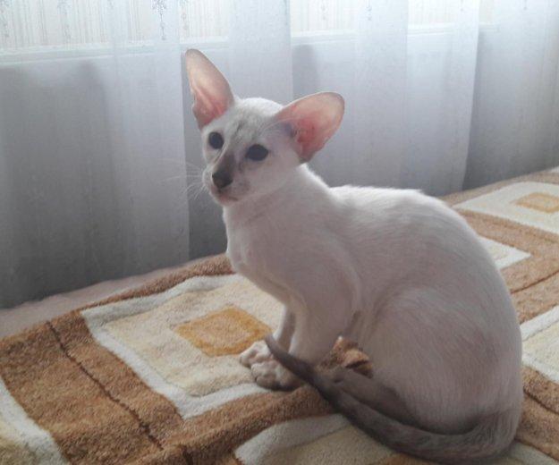 Ориентальный котёнок. Фото 1.